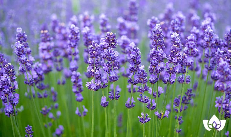 lavender is a naturopathic solutions for anxiety | Mindful Healing | Naturopathic Doctor Mississauga